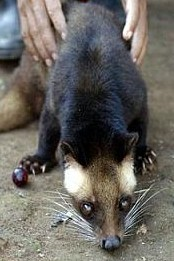 The Civet whose dung produces the coffee beans