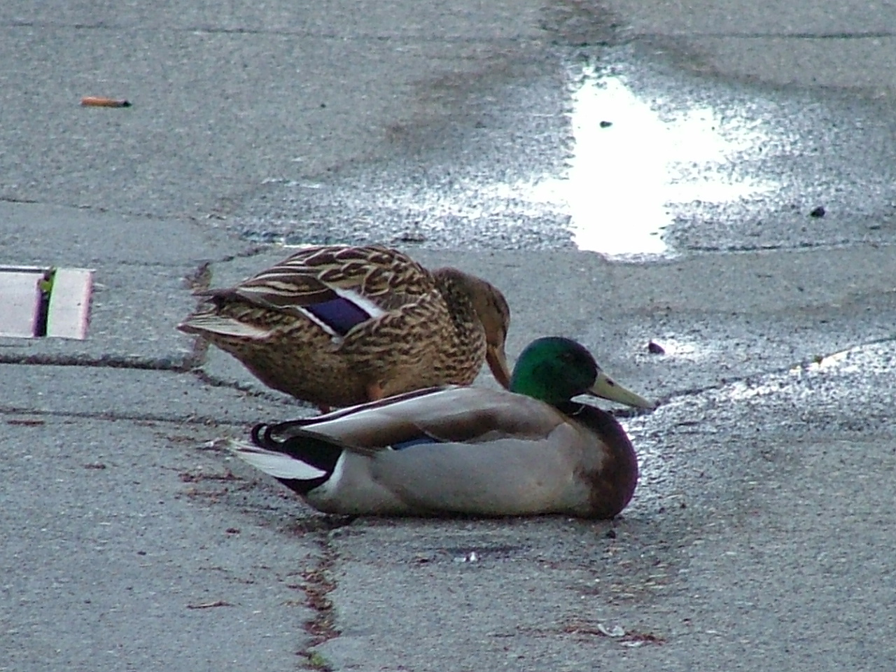 Duck couple resting in the middle of an alley